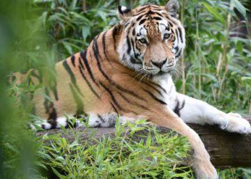 Crece la cifra de tigres salvajes tras cien años en declive