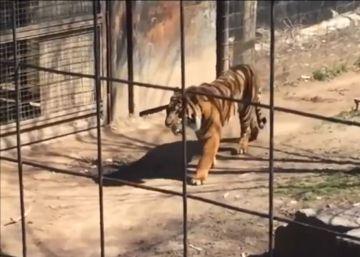 Una mujer entra en la jaula de un tigre en un zoo para coger su gorro