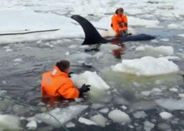 Rusia muestra el rescate de un grupo de orcas atrapadas en el hielo