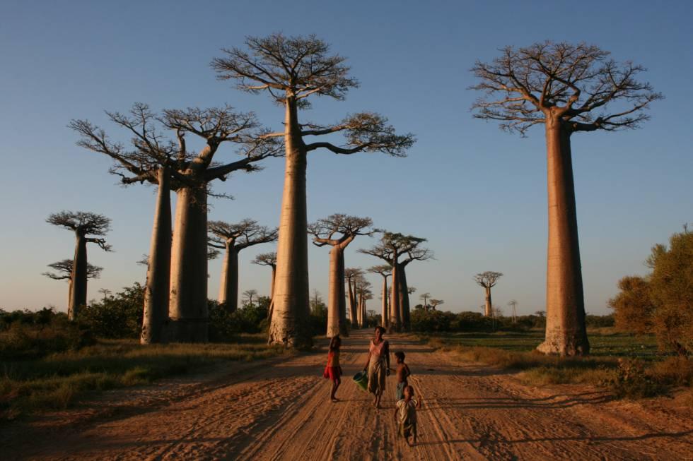 Al menos dos especies de baobabs que crecen en Madagascar desaparecerán antes de acabar el siglo.