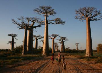 Los árboles más grandes y viejos del planeta se desvanecen