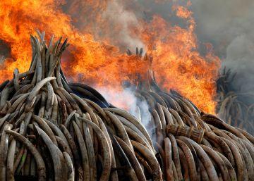 Kenia quema 105 toneladas de marfil confiscado