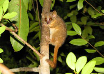 Descubiertas tres nuevas especies de lémures ratón en Madagascar