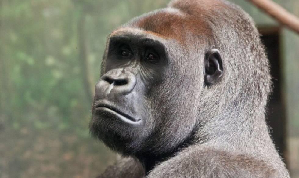 Los gorilas macho gastan más energía que los humanos, pero solo porque son mucho mayores