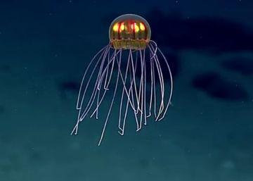 La medusa 'alienígena'