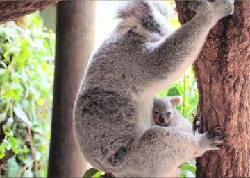 Este es el primer koala de la temporada del Zoo Australia