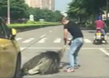 Un avestruz siembra el caos en una carretera tras escapar de una granja