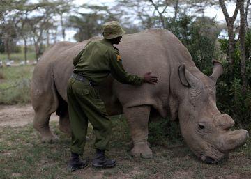'Resucitar' rinocerontes cuando los siguen matando por miles