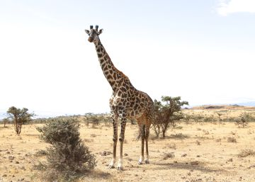 Así alargó la jirafa su cuello