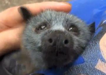 Así reacciona un murciélago huérfano cuando le acarician