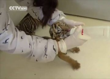 Los intentos de un cachorro de tigre aprendiendo a andar