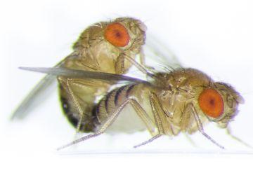 Dos moscas de la fruta apareándose