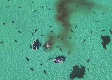 Unos 70 tiburones devoran una ballena de 36 toneladas en Australia