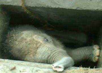 Rescatada una cría de elefante en Sri Lanka atrapada en un desagüe