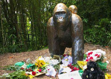 Los internautas piden justicia para el gorila matado para salvar a un niño