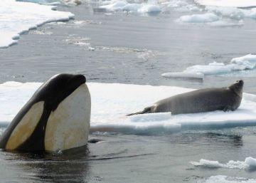 Los humanos no son únicos: las orcas también evolucionan gracias a la cultura