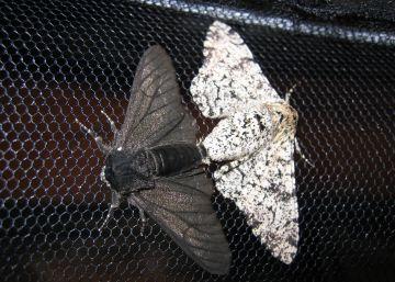 Hallan el gen que cambió el color a las mariposas en la Revolución industrial