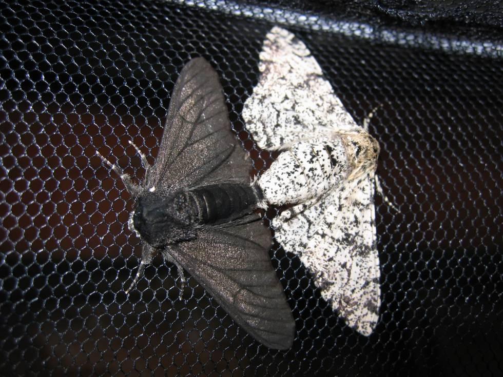 La mariposa de los abedules eran moteada hasta la Revolución Industrial.