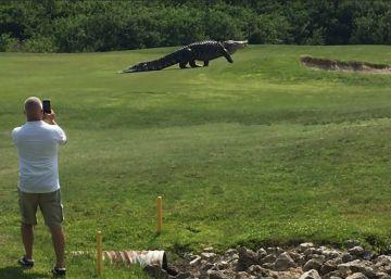 Este caimán de cinco metros vive en un campo de golf en Florida