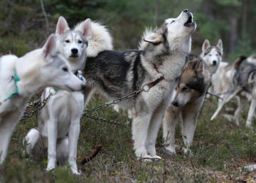 El perro se domesticó dos veces, al este y oeste de Eurasia