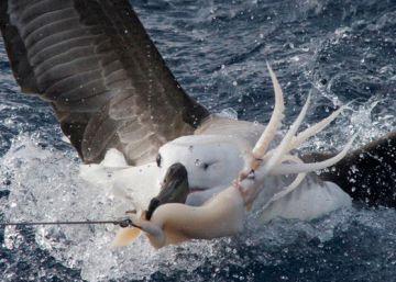 La pesca mata a 100.000 ejemplares del ave más grande del mundo al año