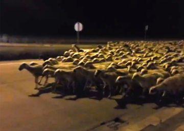 Más de 1.000 ovejas 'toman' Huesca de madrugada