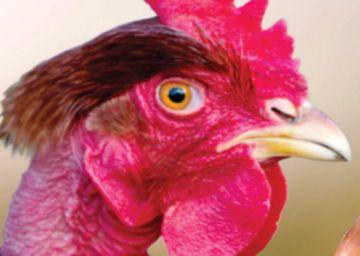 Estos pollos pueden salvarle la vida