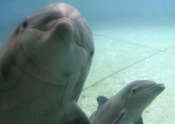 Primer gran paso hacia la semilibertad de los delfines cautivos