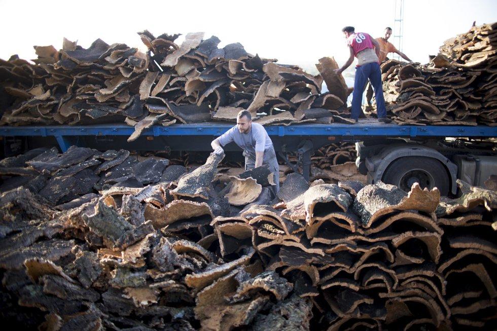 Una vez se lleva el corcho a fábrica, debe secarse al sol durante un año, pasado este tiempo se cuece y se procede al recorte.rn