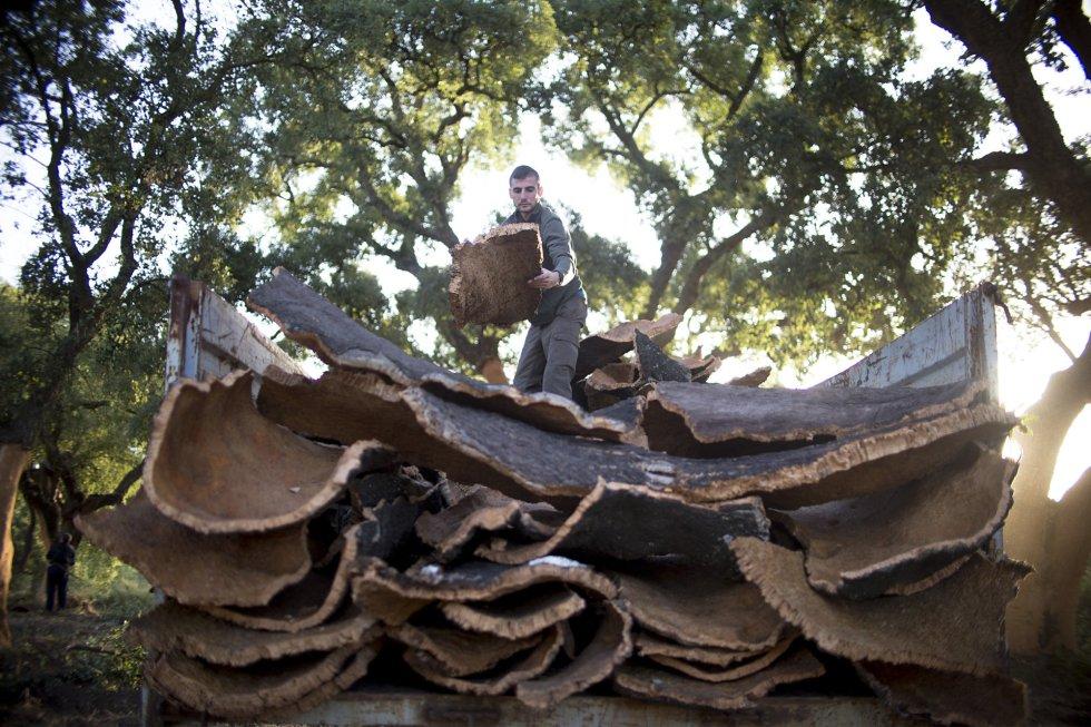La unidad de medida que se utiliza para el control del corcho corcho extraído se denomina quintal castellano, equivalente a 46 kilogramos.rnUn buen árbol puede dar entre dos y tres quintales por descorche, aunque de media se obtiene de un quintal por árbol.rn