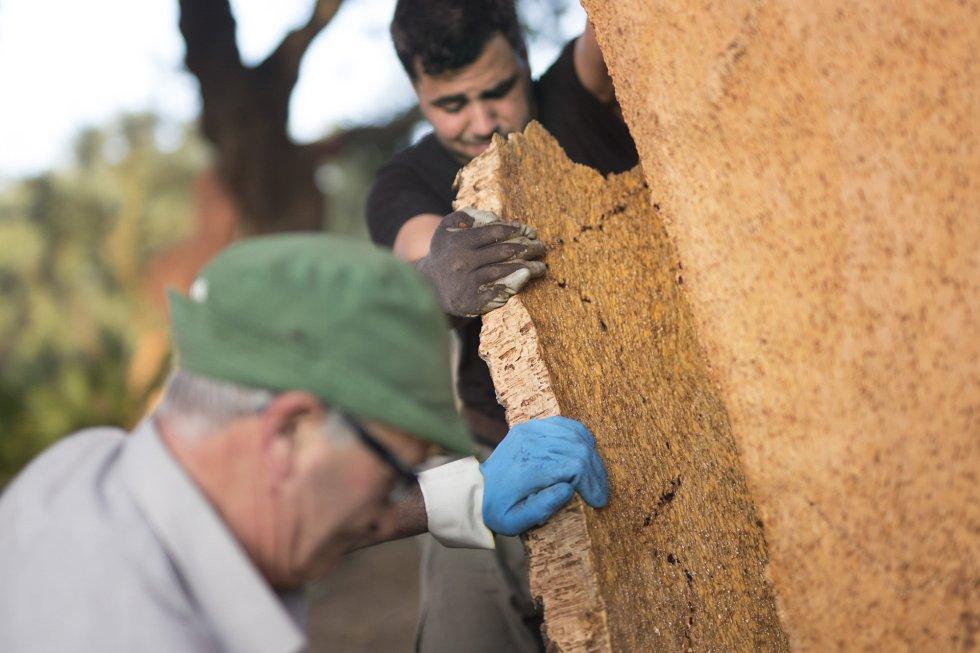 El precio de corcho en la actualidad está entre los 70 y los 120 euros por quintal, (un quintal equivale a 46 kg). En esta temporada el que más caro se está pagando pertenece a una finca en la Sierra de San Pedro, Extremadura, debido a su alta calidad.rn