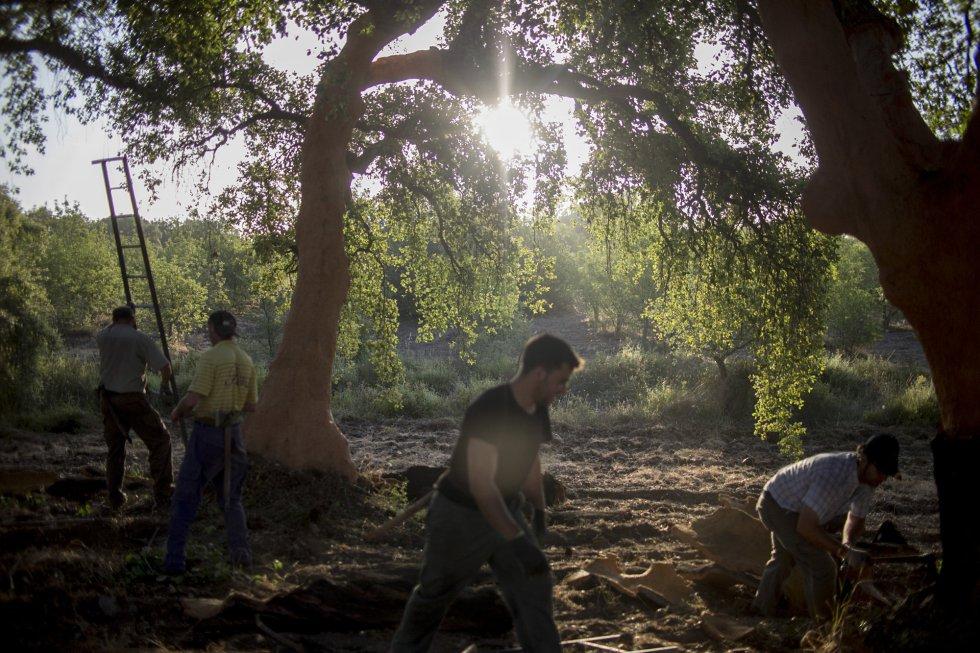 El descorche debe realizarse en los meses de junio y julio, siendo el intervalo de tiempo de 9 años para un mismo árbol.rn