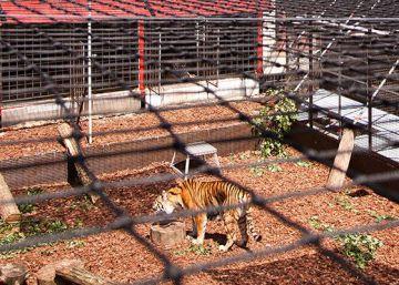 Tigres para