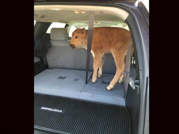 Unos turistas recogieron a un bisonte en Yellowstone porque pensaron que tendría frío. Tuvo que ser sacrificado ante el rechazo de su manada.