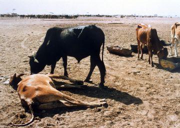 Cinco años libres de peste bovina
