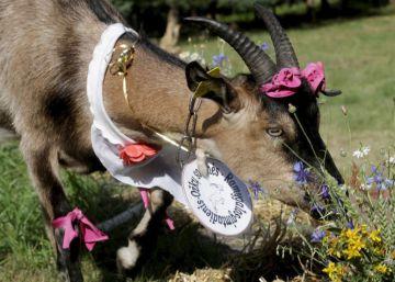 La cabra tira a la pasarela