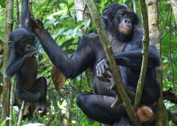 Una hembra de bonobo con los genitales hinchados.
