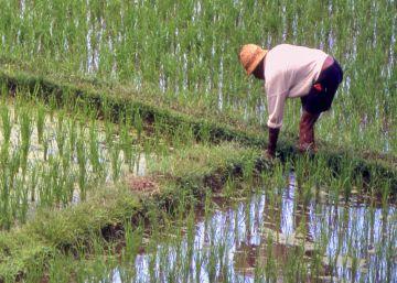 El arroz dorado solivianta a Greenpeace