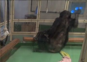 Un chimpancé recupera la movilidad gracias a una pantalla táctil