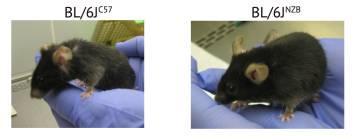 A la derecha, el ratón con el genoma mitocondrial 'joven' y a la izquierda otro de la misma edad con el genoma de envejecimiento acelerado
