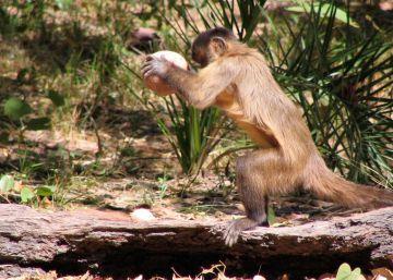 Estos monos llevan cien generaciones usando herramientas