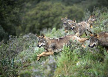 Por qué los lobos también saben mostrar clemencia