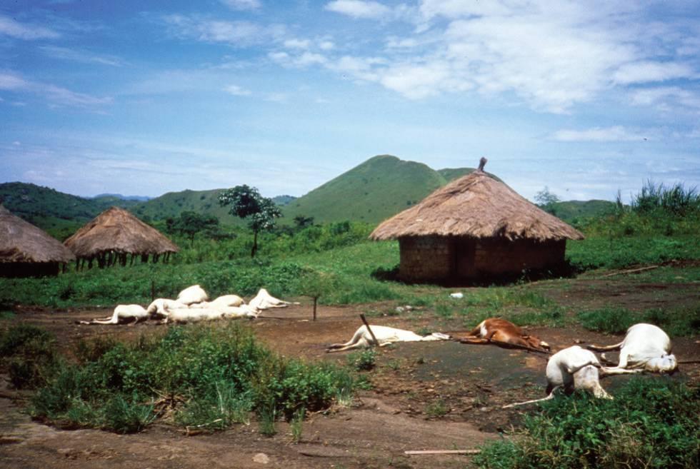 Ganado muerto tras la erupción del lago Nyos (Camerún) en 1986.