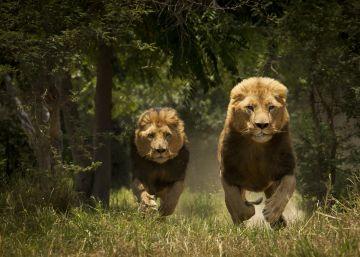 Historias de verano: los leones del Tsavo