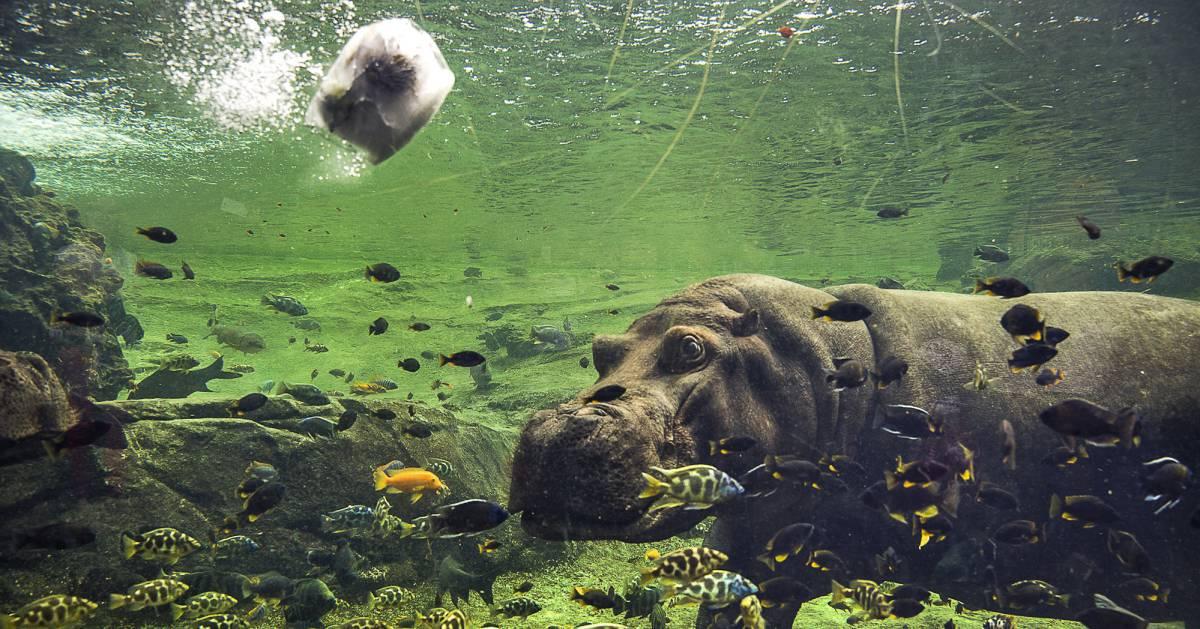 El hipopótamo común recibe un bloque de hielo para refrescarse.