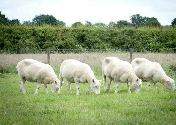 Los clones de 'Dolly' son tan sanos como cualquier otra oveja