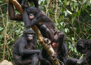 Las bonobas defienden su matriarcado luchando juntas