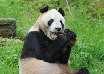 Un asilo para pandas