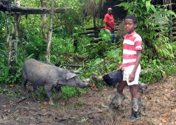 Salvemos a los cerdos iberoamericanos