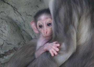 Una cría de una especie de mono en alto riesgo de extinción nace en el zoo de Barcelona